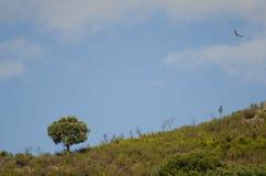 Le vautour de griffon Gyps l'ilex de quercus de chêne montant et à feuilles persistantes de fulvus photographie stock