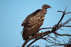 Le vautour Kenya Afrique de l'Est de Ruppell Images stock