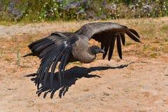 Le vautour vole Photo stock