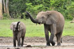 Le veau d'éléphant avec la vache à éléphant Photos stock