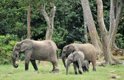 Le veau d'éléphant avec la vache à éléphant Africain Forest Elephant, cyclotis d'africana de Loxodonta Images libres de droits