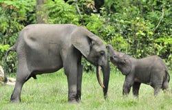 Le veau d'éléphant avec la vache à éléphant Africain Forest Elephant, cyclotis d'africana de Loxodonta Photographie stock
