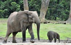 Le veau d'éléphant avec la vache à éléphant Forest Elephant africain Photo stock