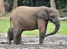 Le veau d'éléphant avec la vache à éléphant Forest Elephant africain, cyclotis d'africana de Loxodonta Image libre de droits