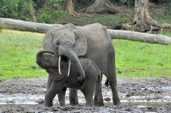 Le veau d'éléphant avec la vache à éléphant Forest Elephant africain, cyclotis d'africana de Loxodonta Photographie stock