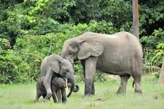 Le veau d'éléphant avec la vache à éléphant Forest Elephant africain, cyclotis d'africana de Loxodonta Photo stock