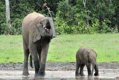 Le veau d'éléphant avec la vache à éléphant Forest Elephant africain, cyclotis d'africana de Loxodonta Images stock