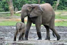 Le veau d'éléphant avec la vache à éléphant Forest Elephant africain, cyclotis d'africana de Loxodonta Au sali de Dzanga Photographie stock