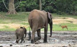 Le veau d'éléphant avec la vache à éléphant Forest Elephant africain, cyclotis d'africana de Loxodonta Chez le Dzanga salin (avan Photos stock