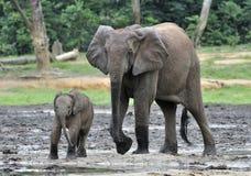 Le veau d'éléphant avec la vache à éléphant Forest Elephant africain, cyclotis d'africana de Loxodonta Chez le Dzanga salin (un c Photo stock