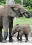 Le veau d'éléphant avec la vache à éléphant Forest Elephant africain, cyclotis d'africana de Loxodonta Chez le Dzanga salin (un c Photographie stock