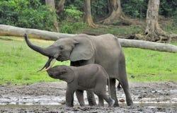 Le veau d'éléphant avec la vache à éléphant Forest Elephant africain, cyclotis d'africana de Loxodonta Chez le Dzanga salin (un c Images libres de droits