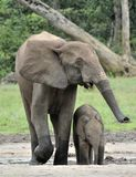 Le veau d'éléphant avec la vache à éléphant Forest Elephant africain, cyclotis d'africana de Loxodonta Chez le Dzanga salin (un c Image stock