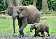 Le veau d'éléphant avec la vache à éléphant Forest Elephant africain, cyclotis d'africana de Loxodonta Chez le Dzanga salin (un c Photographie stock libre de droits