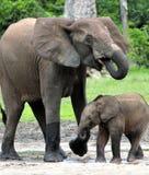 Le veau d'éléphant avec la vache à éléphant Forest Elephant africain, cyclotis d'africana de Loxodonta Chez le Dzanga salin (un c Images stock