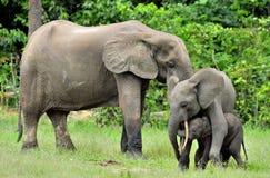Le veau d'éléphant avec la vache à éléphant Forest Elephant africain, cyclotis d'africana de Loxodonta Chez le Dzanga salin (un c Photo libre de droits