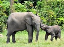 Le veau d'éléphant avec la vache à éléphant Forest Elephant africain, cyclotis d'africana de Loxodonta Chez le Dzanga salin (un c Image libre de droits