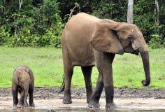 Le veau d'éléphant avec la vache à éléphant Forest Elephant africain, cyclotis d'africana de Loxodonta Chez le Dzanga salin (un c Photos stock