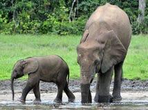 Le veau d'éléphant avec la vache à éléphant Forest Elephant africain, cyclotis d'africana de Loxodonta Chez le Dzanga salin (un c Photos libres de droits