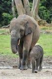 Le veau d'éléphant est alimenté avec du lait d'une vache à éléphant Forest Elephant africain, cyclotis d'africana de Loxodonta Au Image stock