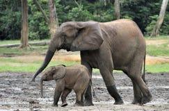 Le veau d'éléphant est alimenté avec du lait d'une vache à éléphant Forest Elephant africain, cyclotis d'africana de Loxodonta Au Photos stock