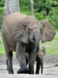 Le veau d'éléphant est alimenté avec du lait d'une vache à éléphant Forest Elephant africain, cyclotis d'africana de Loxodonta Au Photographie stock