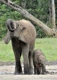 Le veau d'éléphant est alimenté avec du lait d'une vache à éléphant Forest Elephant africain, cyclotis d'africana de Loxodonta Au Photos libres de droits