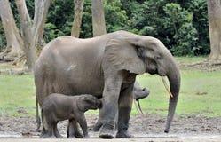 Le veau d'éléphant est alimenté avec du lait d'une vache à éléphant Forest Elephant africain, cyclotis d'africana de Loxodonta Au Images stock