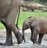 Le veau d'éléphant est alimenté avec du lait d'une vache à éléphant Forest Elephant africain, cyclotis d'africana de Loxodonta Au Photo libre de droits