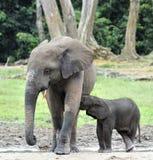 Le veau d'éléphant est alimenté avec du lait d'une vache à éléphant Forest Elephant africain, cyclotis d'africana de Loxodonta Au Images libres de droits