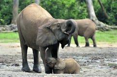 Le veau d'éléphant est alimenté avec du lait d'une vache à éléphant Forest Elephant africain, cyclotis d'africana de Loxodonta Au Image libre de droits