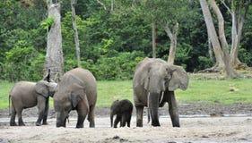 Le veau d'éléphant est alimenté avec du lait d'une vache à éléphant Forest Elephant africain, cyclotis d'africana de Loxodonta Photos libres de droits