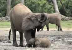 Le veau d'éléphant est alimenté avec du lait d'une vache à éléphant Forest Elephant africain, cyclotis d'africana de Loxodonta Image stock