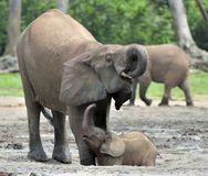 Le veau d'éléphant et l'éléphant effrayent Forest Elephant africain, cyclotis d'africana de Loxodonta Au sali de Dzanga Photos stock