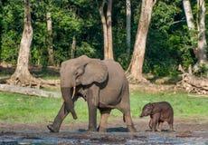 Le veau d'éléphant et la vache à éléphant Photographie stock libre de droits