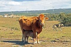 Le veau de bébé est lait de consommation à la vache à maman Photo libre de droits