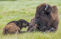 Le veau de bison essaye de communiquer avec son parent photos libres de droits