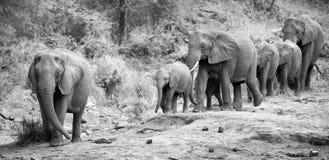 Le veau et la mère de troupeau d'éléphant chargent vers le trou d'eau Images stock