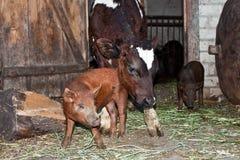 Le veau et le porc Photos libres de droits
