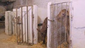 Le veau nouveau-né est dans la stalle clips vidéos