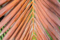 Le vecchie foglie di palma Immagine Stock