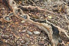 Le vecchie radici si chiudono su Immagini Stock