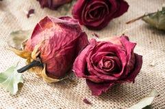Le vecchie rose marrone rossiccio secche germoglia con il retro filtro Primo piano d'annata Fotografia Stock