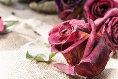 Le vecchie rose marrone rossiccio secche germoglia con il retro filtro Primo piano d'annata Fotografie Stock