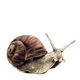 Le vecteur de croquis d'escargot illustration stock