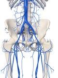 Le vene dell'anca royalty illustrazione gratis