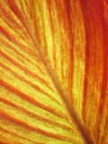 Le vene di una foglia rossa della banana Fotografie Stock