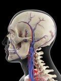 Le vene e le arterie della testa Fotografia Stock