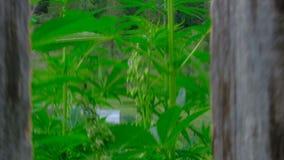 Le vent balance des buissons de marijuana Quelqu'un s'éloigne de la barrière derrière laquelle le chanvre se développe Mouvement  clips vidéos