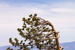 Le vent a balayé l'arbre images libres de droits